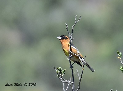 Black-headed Grosbeak - 5/31/2015 - Cibbets Flat Campground, Kitchen Creek