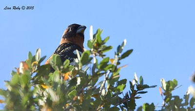 Black-headed Grosbeak - 5/30/2015 - Pacific Crest Trail, Kitchen Creek