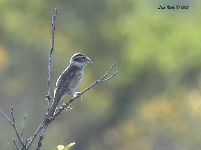 Female Black-headed Grosbeak - 5/30/2015 - Pacific Crest Trail, Kitchen Creek