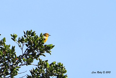 First year male Bullock's Oriole - 5/30/2015 - by bridge, Kitchen Creek