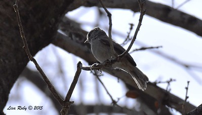 Oak Titmouse - 5/30/2015 - Cibbets Flat Campground, Kitchen Creek