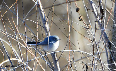Blue-gray Gnatcatcher - 1/2/2015 - Lake Hodges, southeast trail (south of footbridge)