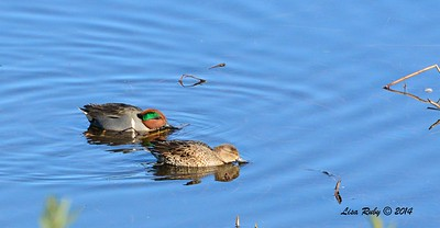 Pair of Green-winged Teal - 1/2/2015 - Lake Hodges, southeast trail (south of footbridge)