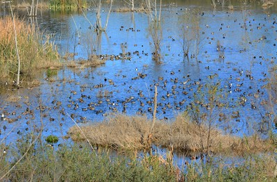Lots of ducks - 1/2/2015 - Lake Hodges, southeast trail (south of footbridge)