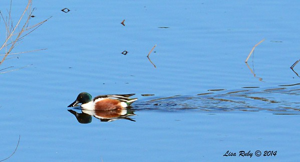 Northern Shoveler - 1/2/2015 - Lake Hodges, southeast trail (south of footbridge)