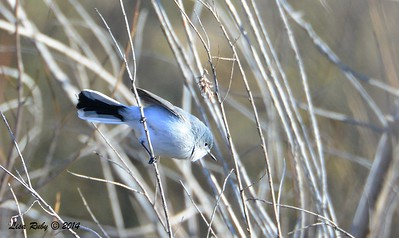 Blue-gray Gnatcatcher - 1/2/2015 - Lake Hodges southeast trail (south of pedestrian bridge)