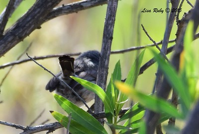 Terrible shot of a California Gnatcatcher - 5/17/2015 - Lake Hodges