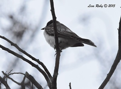 Eastern Kingbird - 10/18/2015 - Liberty Station,  Woodworth Way