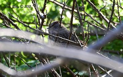 Lincoln Sparrow - 11/29/2015 - Marston Canyon