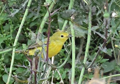 Yellow Warbler - 5/25/2015 - Santee Lakes