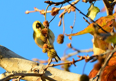 American Goldfinch - 1/17/2015 - Nestor Park