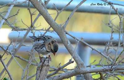 Immature Harris's Sparrow - 1/17/2015 - Leon Ave