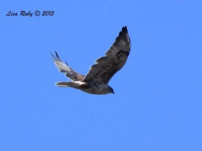 Ferruginous Hawk - 12/13/2015 - Upper Otay Lake