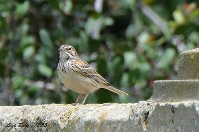 Vesper Sparrow - 5/10/2015 - Fort Rosecrans National Cemetery