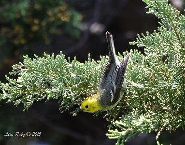 Hermit Warbler - 5/10/2015 - Fort Rosecrans National Cemetery