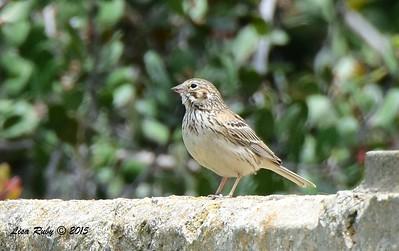 Vesper Sparrow - 5/10/2015 - Fort Rosecrans National Cemetery