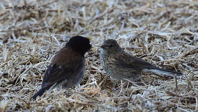 Fledgling and parent Dark-eyed Junco (Oregon) - 5/10/2015 - Fort Rosecrans National Cemetery