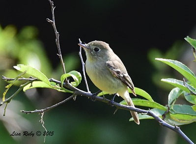 Pacific-slope Flycatcher  - 5/10/2015 - Point Loma Nazarene University