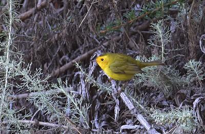Wilson's Warbler - 5/10/2015 - Fort Rosecrans National Cemetery