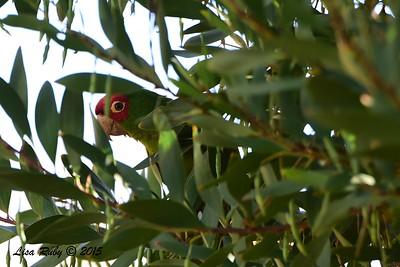 Red-masked Parakeet- 5/10/2015 - Point Loma Nazarene University