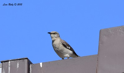 Northern Mockingbird - 5/10/2015 - Point Loma Nazarene University