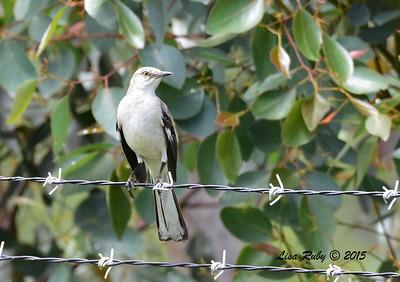 Northern Mockingbird - 5/10/2015 - Fort Rosecrans National Cemetery