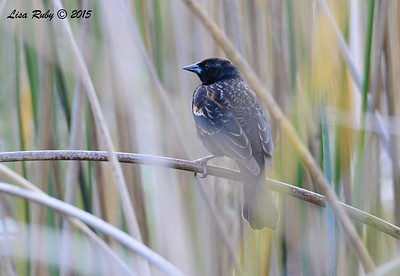 Red-winged Blackbird - 2/1/2015 - Poway Pond
