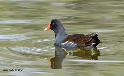 Common Gallinule - 12/27/2015 - Poway Pond