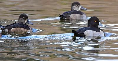 Ring-necked Ducks - 12/27/2015 - Poway Pond