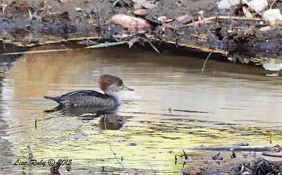 Hooded Merganser - 12/27/2015 - Poway Pond (private pond)