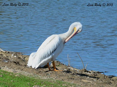 American White Pelicans (look closely, there are two) - 1/19/2015 - Ramona Pond