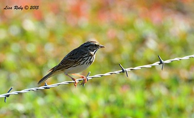 Savannah Sparrow - 1/19/2015 - Rangeland Road, Ramona
