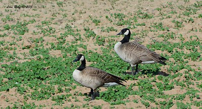 Canada Geese - 1/19/2015 - Ramona Pond