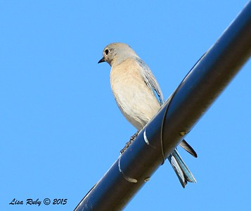 Female Mountain Bluebird - 1/19/2015 - Rangeland Road, Ramona