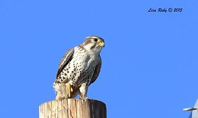 Prairie Falcon - 11/13/2015 - Rangeland Road