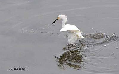 Snowy Egret hunting - 8/2/2015 - Robb Field