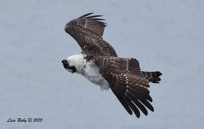 Osprey - 8/2/2015 - Robb Field