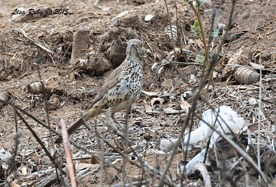 Gray Thrasher - 8/2/2015 - Famosa Slough