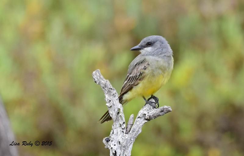Cassin's Kingbird - 8/2/2015 - Famosa Slough