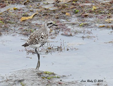 Black-bellied Plover - 8/2/2015 - Robb Field