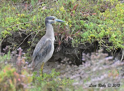 Yellow-crowned Night Heron - 8/2/2015 - Famosa Slough