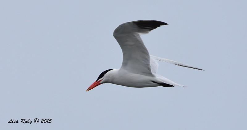 Caspian Tern - 8/2/2015 - Robb Field