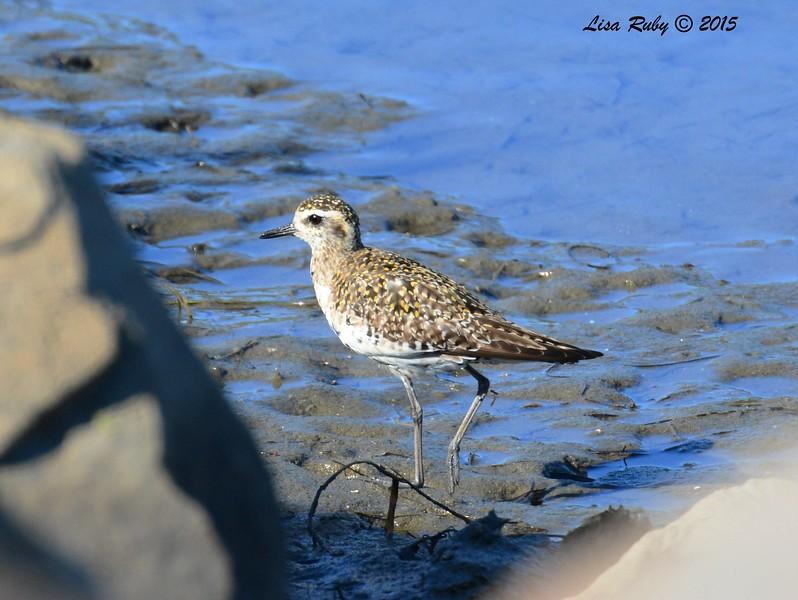 Pacific Golden-Plover - 3/20/2015 - Del Mar, San Dieguito Lagoon