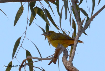Summer Tanager - 3/20/2015 - Del Mar, Portofino Circle near north intersection of Portofino Dr.