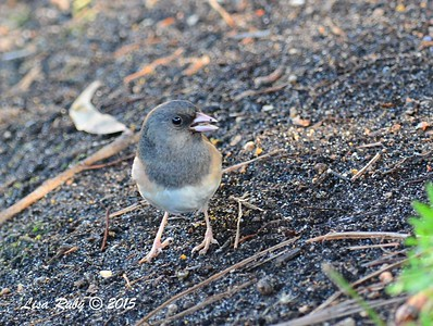 Dark-eyed Junco - 3/20/2015 - Del Mar, Portofino Circle
