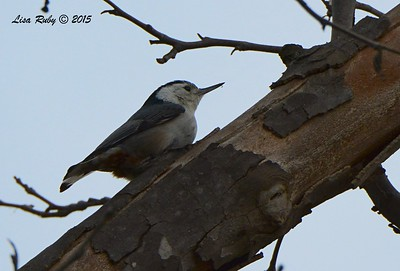 White-breasted Nuthatch - 2/19/15 - Sycamore Canyon Rd, Poway