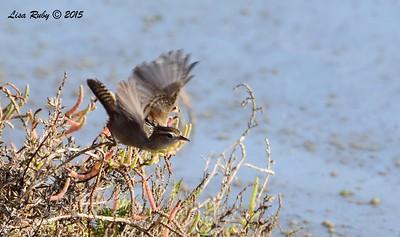 Marsh Wren - 12/24/215 - Tijuana Estuary Preserve