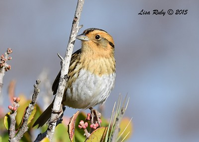 Nelson's Sharp-tailed Sparrow - 12/24/2015 - Seacoast Drive, Imperial Beach