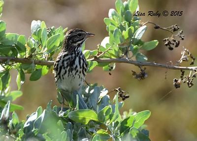 Belding Savannah Sparrow - 12/24/2015 - Tijuana Estuary Prserve