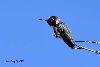 Costa's Hummingbird - 4/3/2016 - Agua Caliente County Park